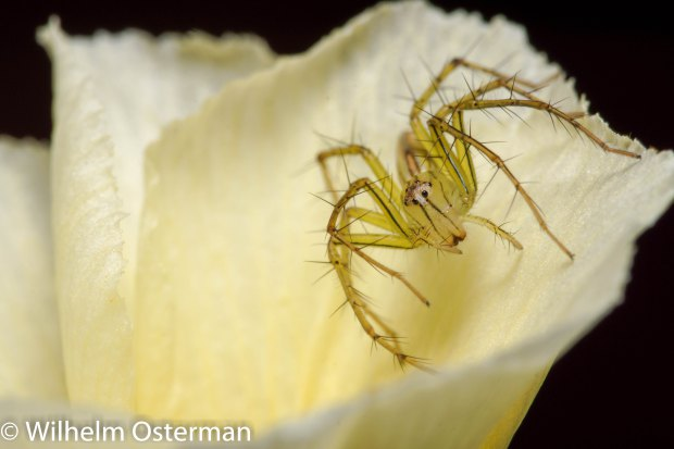 A spider trying to catch prey in a flower